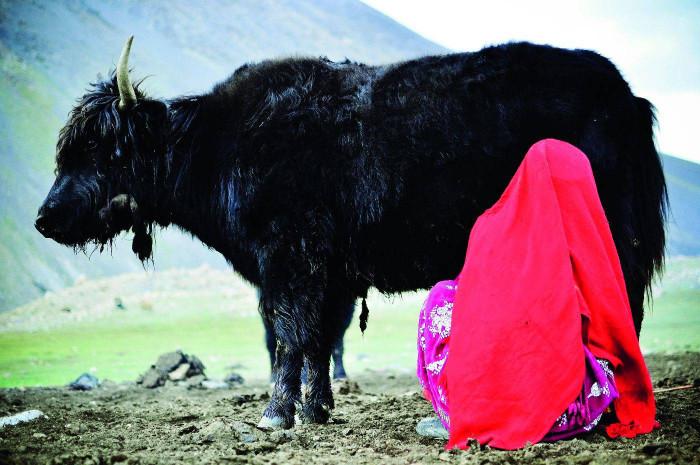 Kobieta dojąca Jaka - Afganistan, Azja