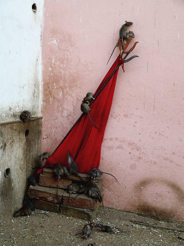 Świątynia Szczurów - wioska Deshnok - Indie