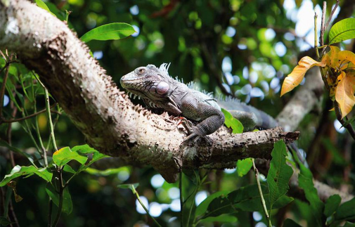 Iguana / Wenezuela