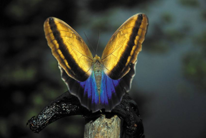 Motyl w kolorze Metalic / Wenezuela